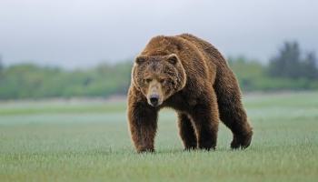 Con Gấu Là Số Mấy? Mơ Thấy Gấu Đánh Con Gì? Điềm Báo Gì?
